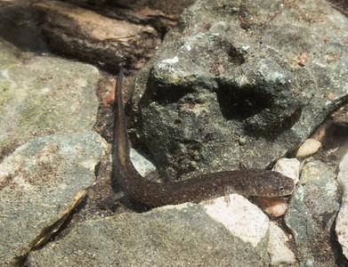 Georgetown salamander at Swinbank Spring
