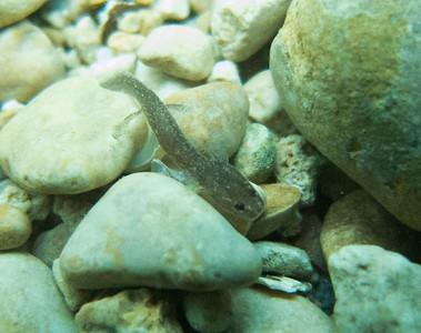 Juvenile Barton Springs salamander at Parthenia Spring