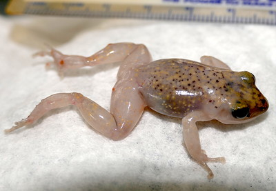 P169CliffChirpingFrog244 Aug. 9, 2017 10:36 a.m. P169-244 This is Cliff Chirping Frog the same as one Aug. 18 last year at LBJ WC, EleutherodactylusMarnockii, or an older name, Syrrhophus marnocki. Find its chirps on line and pics of an Austin one. This one is bloated and faded from drowning in a bucket of water at 2601. A floating chip is there now! Eleutherodactylid.