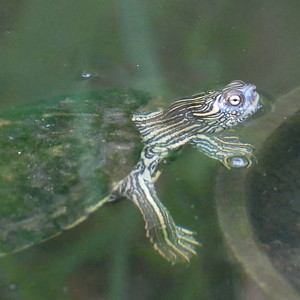 P169MapTurtles-GraptemysSp035 July 20, 2017 6:58 a.m. P1690035 Here is a couple of map turtle in the entry pond by the courtyard at LBJ WC. Emydid.