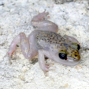 P169CliffChirpingFrog240 Aug. 9, 2017 10:34 a.m. P169-240 This is Cliff Chirping Frog the same as one Aug. 18 last year at LBJ WC, EleutherodactylusMarnockii, or an older name, Syrrhophus marnocki. Find its chirps on line and pics of an Austin one. This one is bloated and faded from drowning in a bucket of water at 2601. A floating chip is there now! Eleutherodactylid.