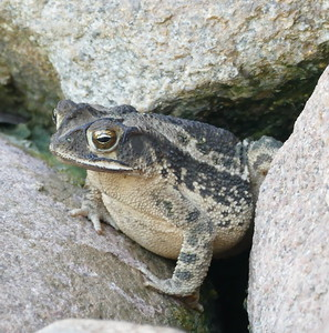 P160ToadWaitsForShower778 Sept. 22, 2016  9:17 a.m.  P1600778 This is Bufo nebulifer,  the Gulf Coast Toad, waiting under the artificial waterfall in the Family Garden at LBJ WC--for the water to be eturned on for the day.