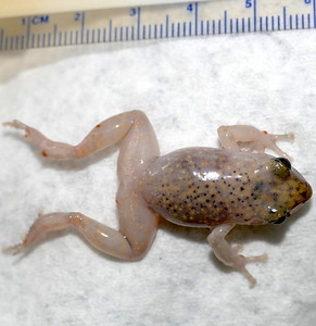 P169CliffChirpingFrog242 Aug. 9, 2017 10:35 a.m. P169-242 This is Cliff Chirping Frog the same as one Aug. 18 last year at LBJ WC, EleutherodactylusMarnockii, or an older name, Syrrhophus marnocki. Find its chirps on line and pics of an Austin one. This one is bloated and faded from drowning in a bucket of water at 2601. A floating chip is there now! Eleutherodactylid.
