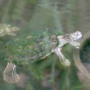 P169TwoMapTurtles-GraptemysSp034 July 20, 2017  6:58 a.m.  P1690034 Here are a couple of map turtles in the entry pond by the courtyard at LBJ WC.  The second had a bit of red behind the eye but is clearly not a red-eared slider.