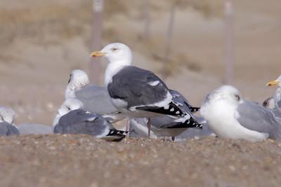 Herring x Great Black-backed Gull