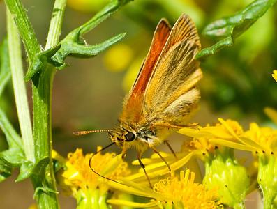 Hesperiidae - Skippers