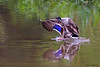 Mallard showing great wing color - Valle Crucis Community Park, Valle Crucis, NC