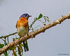 A male Eastern Bluebird- Valle Crucis Community Park, Valle Crucis, NC