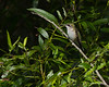 A perched female Ruby-throated Hummingbird - Valle Crucis Community Park, Valle Crucis, NC