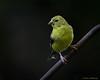 Male American Goldfinch - Beech Mountain, NC