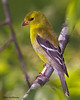 A sweet looking female American Goldfinch - Valle Crucis CP, NC