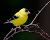 A handsome male American Goldfinch - Beech Mountain, NC