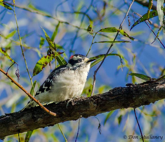 Downy Woodpecker - VCCP