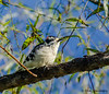 Downy Woodpecker - VCCP