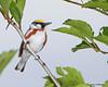 Chestnut-sided Warbler - Hampton Creek Cove, TN