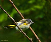 American Redstart, first year - Hampton Creek Cove, TN.