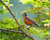 American Robin - Hampton Creek Cove, TN