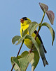 American Goldfinch calling - Valle Crucis Community Park, Valle Crucis, NC