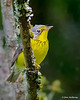 Canada Warbler- Trout Lake, Blowing Rock, NC