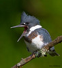 A female Belted Kingfisher calling - Banner Elk, NC