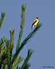 A late breeder, the American Goldfinch - VCCP
