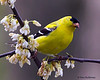 A male American Goldfinch - On my back deck on Beech Mountain, NC