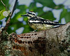 A female Yellow-bellied Sapsucker with characteristic shallow rows of holes. - Bass Lake, Blowing Rock, NC