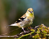 American Goldfinch - VCCP, Valle Crucis, NC