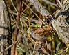 A White- throated Sparrow with a meal - VCCP
