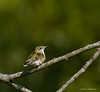 Female Ruby-throated Hummingbird - Valle Crucis Community Park, Valle Crucis, NC