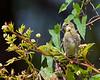 American Goldfinch - VCCP, Valle Crucis, NC
