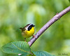 Common Yellowthroat - Valle Crucis, NC