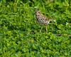 Juvenile Song Sparrow - Valle Crucis Community Park, Valle Crucis, NC