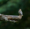 A Cedar Waxing perched high over the Watauga River - Valle Crucis Community Park, Valle Crucis, NC