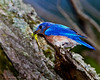 A male Eastern Bluebird is bringing his offspring a dragonfly dinner. - Valle Crucis, NC