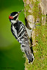 Downy Woodpecker - Beech Mtn., NC