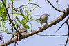 Blue-gray Gnatcatcher and it's chick - Valle Crucis Community Park, Valle Crucis, NC