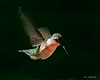 Female Ruby-throated Hummingbird - Back deck, Beech Mtn., NC