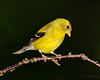 Female American Goldfinch - Beech Mountain, NC