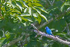 Indigo Bunting perches on a distant limb - Valle Crucis Community Park, Valle Crucis, NC