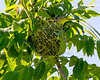 Orchard Oriole entering nest- Valle Crucis Community Park, Valle Crucis, NC