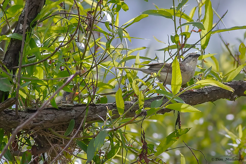 Adult Chipping Sparrow leaves nest of hungry chicks. - Valle Crucis Community Park, Valle Crucis, NC