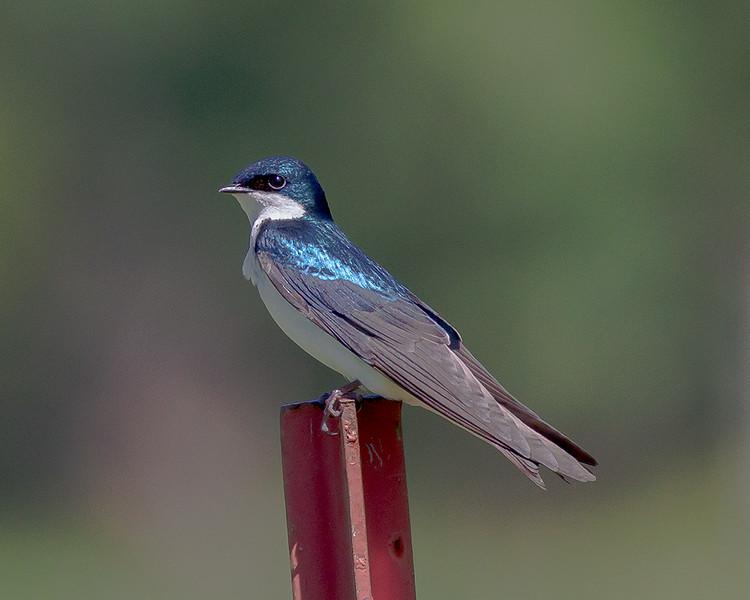 Tree Swallow- Valle Crucis Community Park, Valle Crucis, NC