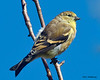 American Goldfinch - VCCP