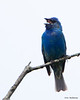 Indigo Bunting - Hampton Creek Cove, TN