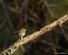 Song Sparrow - VCCP