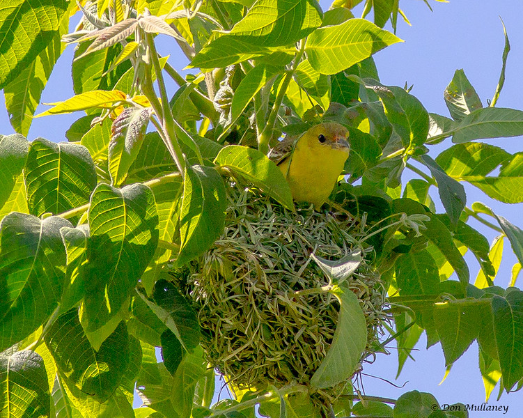 Orchard Oriole on Nest- Valle Crucis Community Park, Valle Crucis, NC