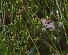 American Goldfinch- VCCP, Valle Crucis, NC
