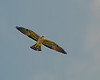 A soaring, juvenile Mississippi Kite - Old Fort, NC