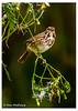 Eastern Song Sparrow - VCCP